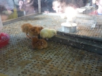 Watching chicks hatch in the incubators