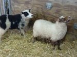 These sheep were sweet - the black & white one reminds me of a border collie